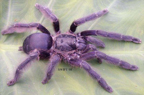 Purple Treespider